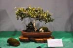 maui fair_bonsai tree