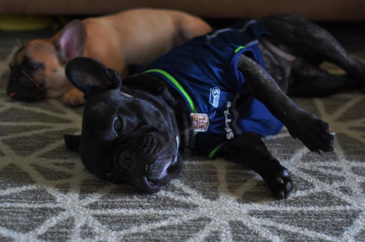 Seattle-Seakhawk-Dog-Jersey-Bordeaux-Roshe-french-bulldog