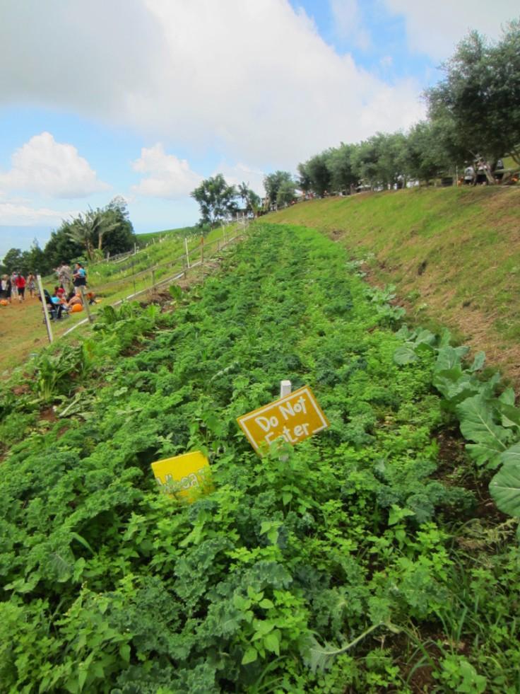 Kula Country Farm_Pumpkin Patch_Maui_Hawaii